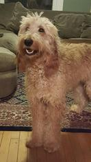 Irish Doodle Dogs for adoption in St. Louis Park, MN, USA
