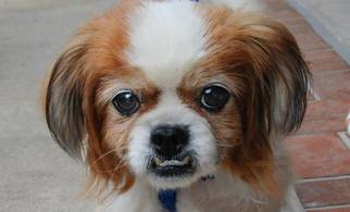 Pekingese Mix Dog For Adoption in Tampa, FL