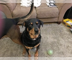 Rottweiler-Unknown Mix Dogs for adoption in White Hall, AR, USA