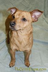 Dachshund Mix Dog For Adoption in Colton, CA, USA