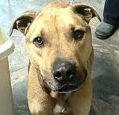 Black Mouth Cur Mix Dog For Adoption in Gettysburg, PA