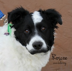 Bordoodle Dogs for adoption in Cheyenne, WY, USA