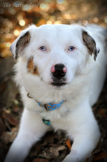 Australian Shepherd Dog For Adoption in Milpitas, CA, USA