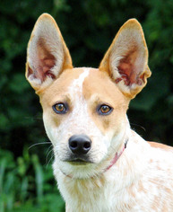 Mutt Dog For Adoption in Asheville, NC