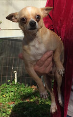 Chihuahua Dog For Adoption in McKinney, TX, USA