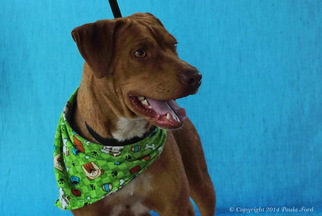 American Pit Bull Terrier-Labrador Retriever Mix Dog For Adoption in Elizabeth City, NC, USA