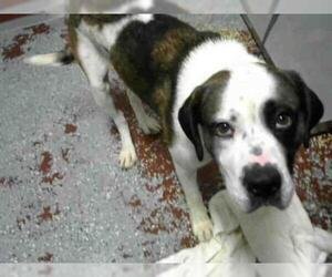Saint Bernard Dogs for adoption in Atlanta, GA, USA