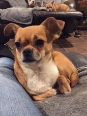 Chug Dog For Adoption in Morganville, NJ
