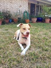 American Pit Bull Terrier Dog For Adoption in lago vista, TX, USA