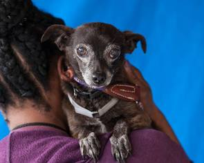 Chiweenie Dog For Adoption in Pasadena, CA