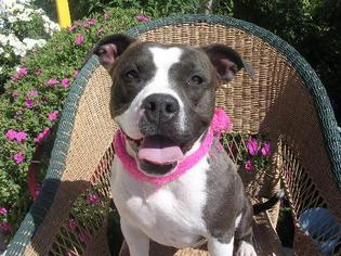 American Staffordshire Terrier Dog For Adoption in Sherman Oaks, CA