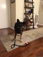 German Shepherd Dog Dog For Adoption in Lithia, FL
