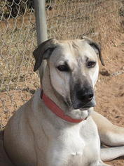 Black Mouth Cur Dog For Adoption in Las Cruces, NM, USA