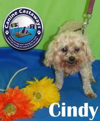 Maltese Mix Dog For Adoption in Arcadia, FL, USA