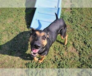 Doberman Pinscher Dogs for adoption in Modesto, CA, USA