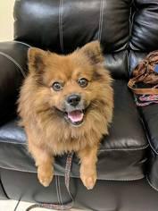 View Ad: Keeshond-Pomeranian Mix Dog for Adoption near ...
