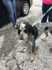Bluetick Coonhound Dog For Adoption in Sanderson, FL, USA