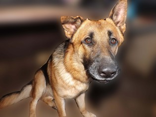 German Shepherd Dog Dog For Adoption in Dunnellon, FL, USA