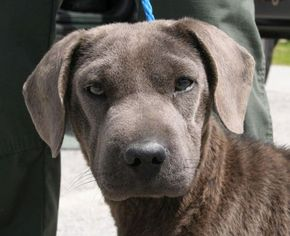 Chinese Shar-Pei-Labrador Retriever Mix Dog For Adoption in West Columbia, SC, USA