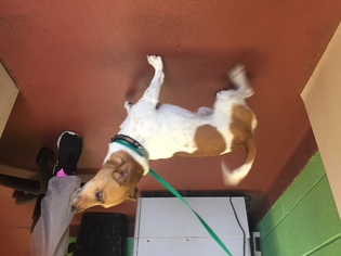 View Ad Jack Russell Terrier Dog For Adoption Near Tennessee Columbia Usa Adn 739283
