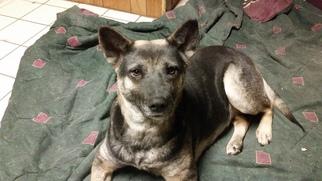 German Shepherd Dog Mix Dog For Adoption in Morrisville, NC, USA