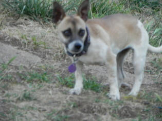 Dachshund Mix Dog For Adoption in Fresno, CA, USA