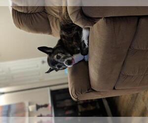 Dutch Shepherd -Unknown Mix Dogs for adoption in Dana Point, CA, USA