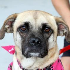 Pug Mix Dog For Adoption in Winder, GA, USA