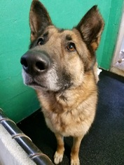 German Shepherd Dog Dog For Adoption in Rockaway, NJ, USA