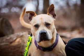 Boxer Mix Dog For Adoption in Rockaway, NJ, USA