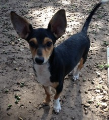 Jack Chi Dog For Adoption in Von Ormy, TX, USA
