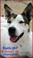 Australian Kelpie Mix dog