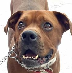 Boxer Mix Dog For Adoption in Phoenix, AZ, USA