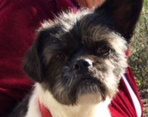 Shih Tzu Mix Dog For Adoption in McKinney, TX, USA