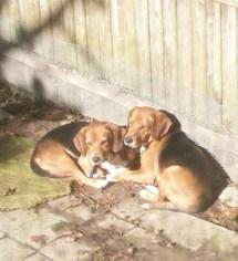 Bagle Hound Dog For Adoption in Ventnor, NJ, USA