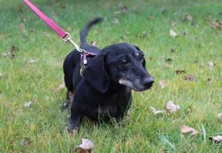 Dachshund Dog For Adoption in Coatesville, PA