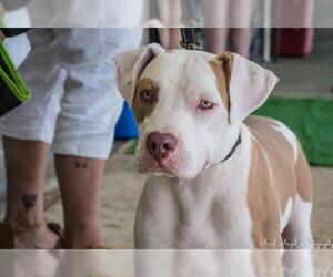 Small American Staffordshire Terrier Mix
