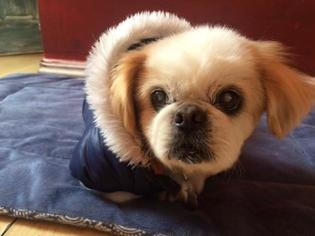 Pekingese Dog For Adoption in Redondo Beach, CA