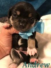 View Ad: Chug Dog for Adoption near Louisiana, Shreveport, USA. ADN-678550