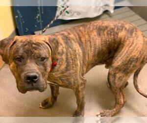 Presa Canario Dogs for adoption in Forestville, MD, USA
