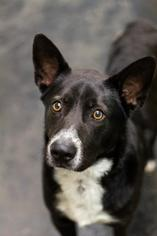 Australian Kelpie-Border Collie Mix Dog For Adoption in Wylie, TX