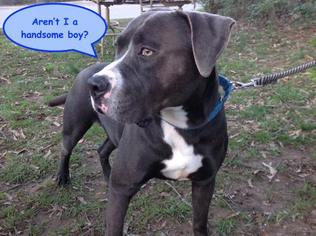 American Pit Bull Terrier Mix Dog For Adoption in Asheville, NC, USA