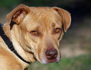 American Pit Bull Terrier-Labrador Retriever Mix Dog For Adoption in Asheville, NC