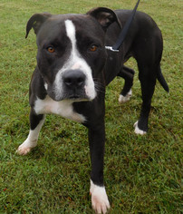 American Staffordshire Terrier Mix Dog For Adoption in Fredericksburg, VA