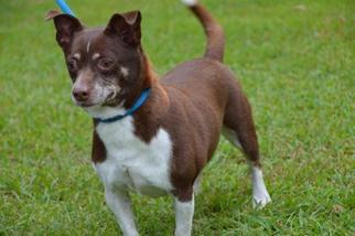 Chiweenie Dog For Adoption in Brighton, TN, USA