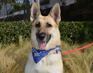 German Shepherd Dog Dog For Adoption in Irvine, CA, USA