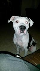 American Bulldog Mix Dog For Adoption in Fort Myers, FL, USA