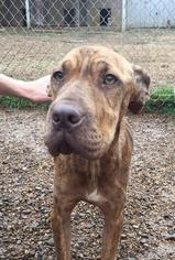 View Ad American Pit Bull Terrier Chinese Shar Pei Mix Dog For