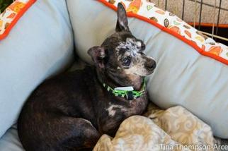 Chihuahua Dog For Adoption in Hesperia, CA, USA