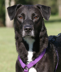 Labrador Retriever Mix Dog For Adoption in North Fort Myers, FL